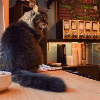 James, chat de l'Ömer Café à Québec.